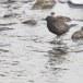 Zwarte waerspreeuw -  Brown dipper 06