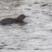 Zwarte waerspreeuw -  Brown dipper 07