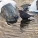 Zwarte waerspreeuw -  Brown dipper 12