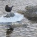 Zwarte waerspreeuw -  Brown dipper 13