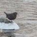 Zwarte waerspreeuw -  Brown dipper 14