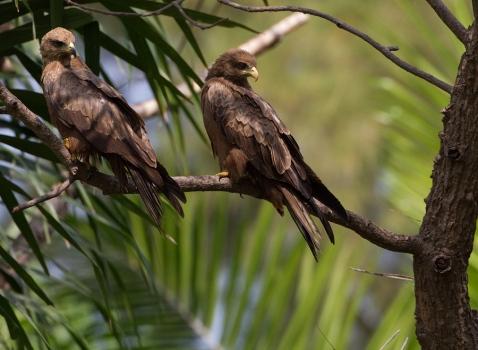 Zwarte wouw - Black Kite 14