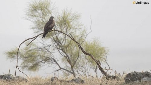 Zwarte wouw - Black Kite 27