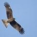 Zwarte wouw -  Black Kite 31