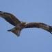Zwarte wouw -  Black Kite 33