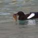 zwarte-zeekoet-black-guillemot-03
