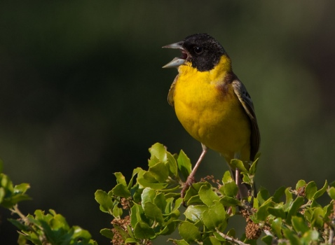 zwartkopgors-black-headed-bunting-01
