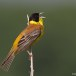 Zwartkopgors - Black-headed Bunting 02