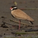 Zwartkopkievit &#8211; Black-headed Plover