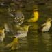 zwartnekwever-black-necked-weaver-01