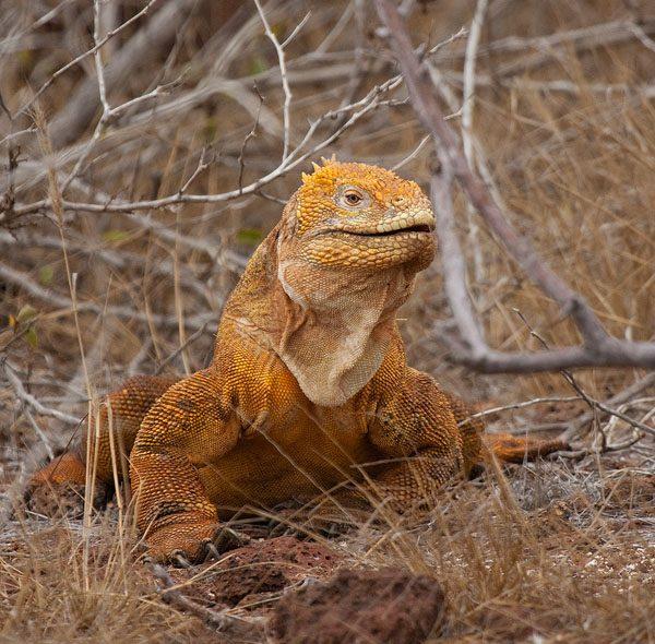 Galapagos landleguaan – Galapagos Land Iguana