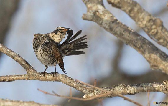 Bruine Lijster – Dusky thrush