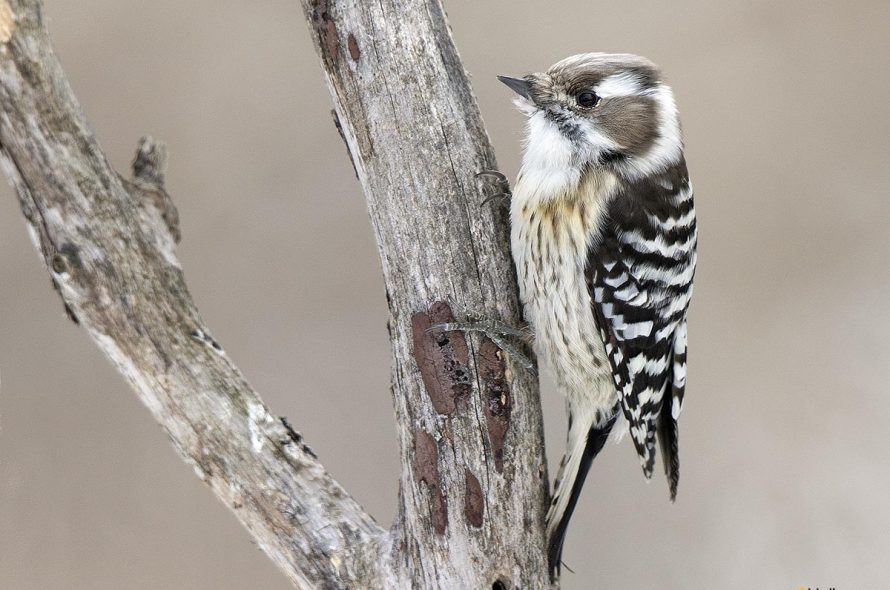 Kizukispecht – Japanese pygmy woodpecker
