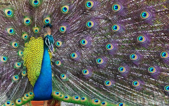 Blauwe pauw – Indian Peafowl