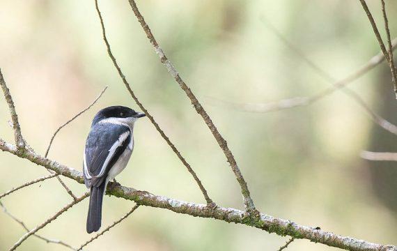Bonte dwergtriller – Bar-winged Flycatcher-Shrike
