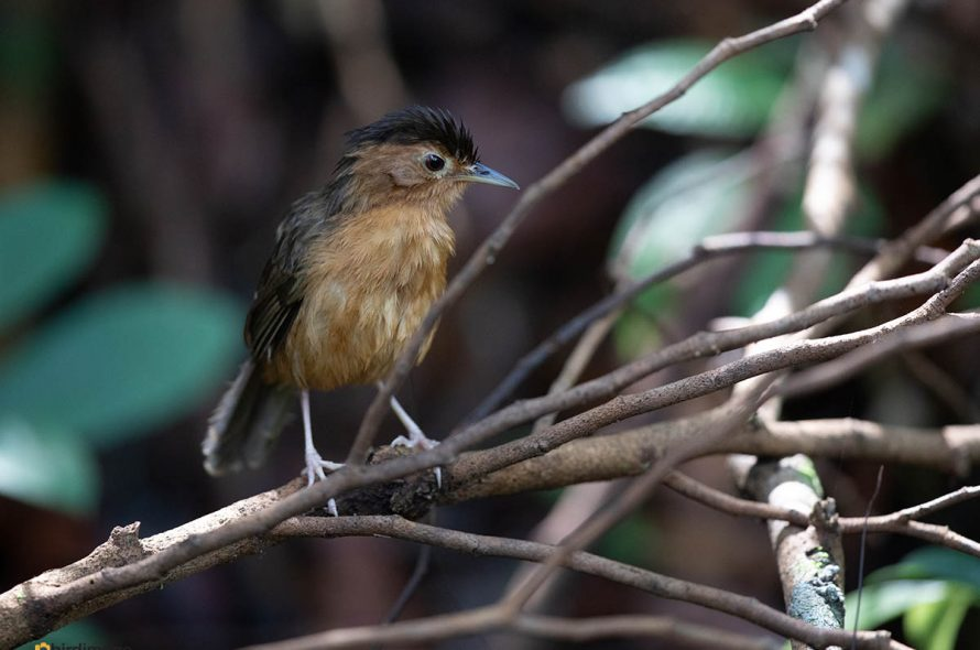 Bruinkapjungletimalia – Brown-capped Babbler