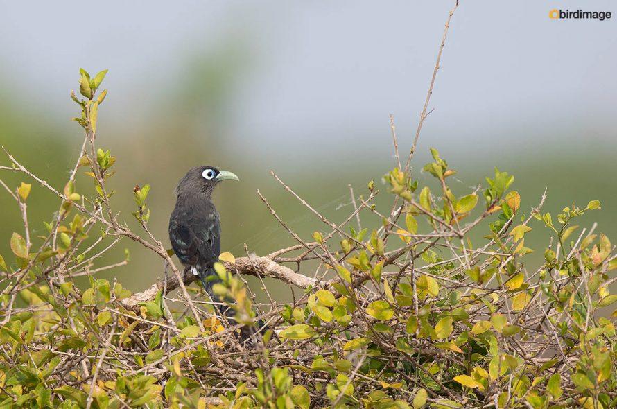 Kleine groensnavelmalkoha – Blue-faced malkoha