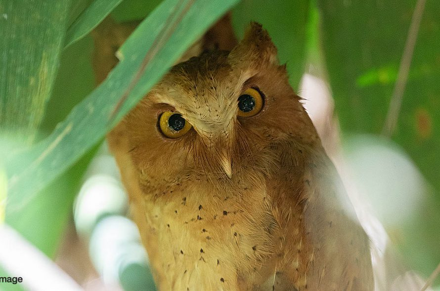 Serendipdwergooruil – Serendib Scops Owl