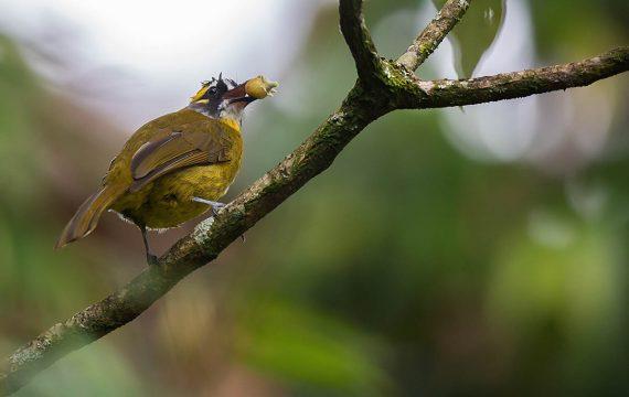 Geelpluimbuulbuul – Yellow-eared Bulbul