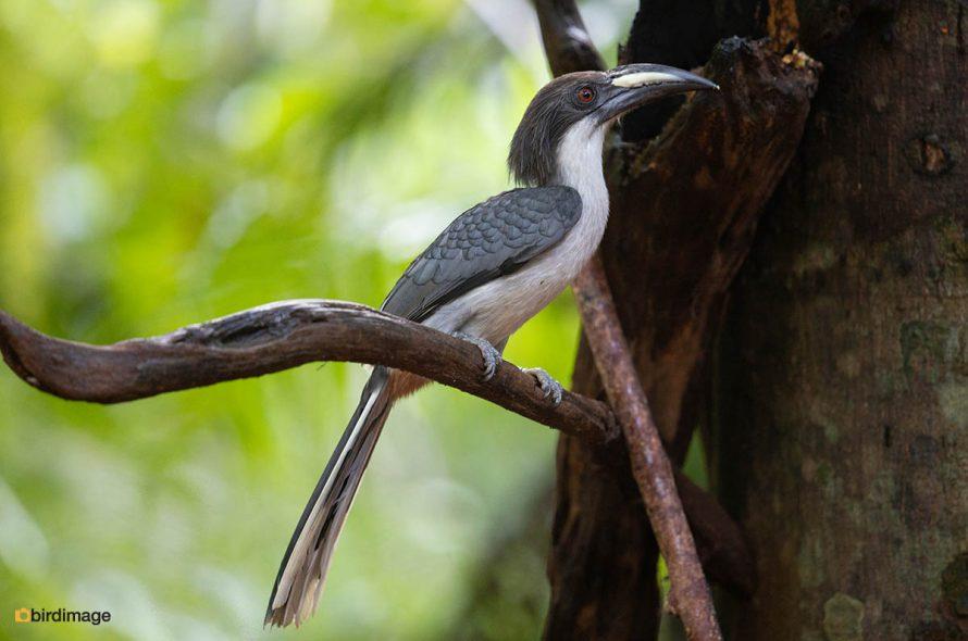 Ceylontok – Sri Lanka grey hornbill