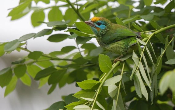Ceylonese baardvogel – Yellow-fronted Barbet