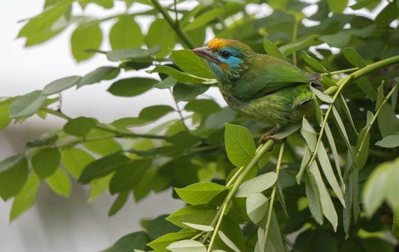 Ceylonese baardvogel – Yellow-fronted Barbet