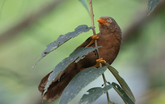 Ceylonese babbelaar – Orange-billed Babbler