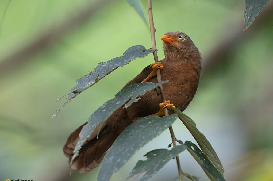 Ceylonese babbelaar – Orange-billed Babbler