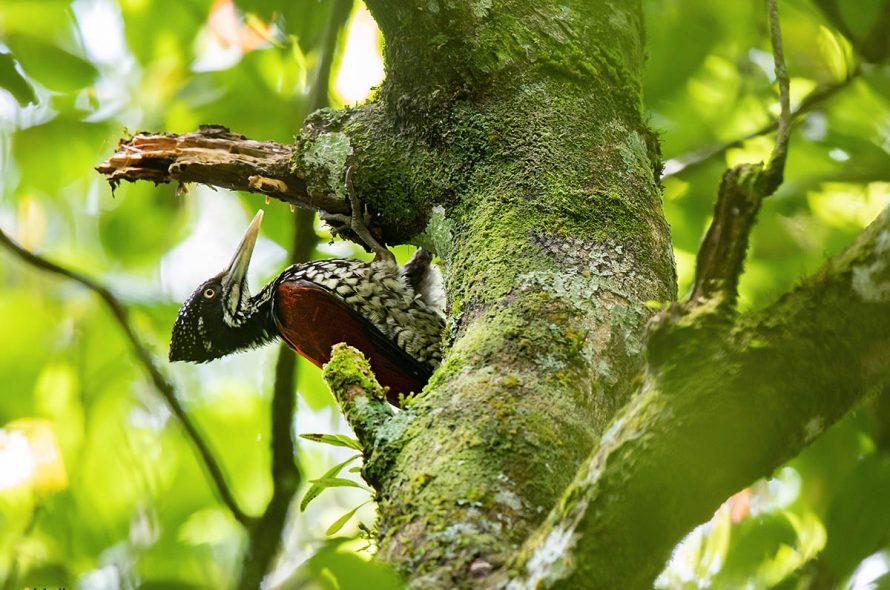 Ceylonese goudrugspecht – Crimson-backed Goldenback