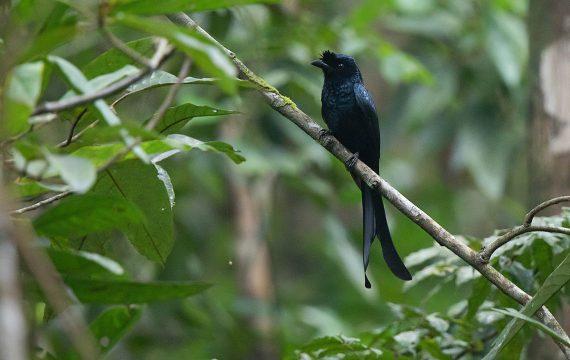 Ceylonese kuifdrongo – Sri Lanka Drongo
