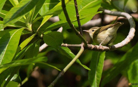 Diksnavelfitis – Large-billed Leaf Warbler