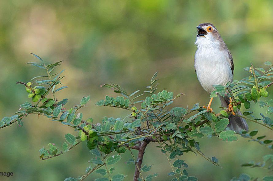 Goudoogtimalia – Yellow-eyed Babbler