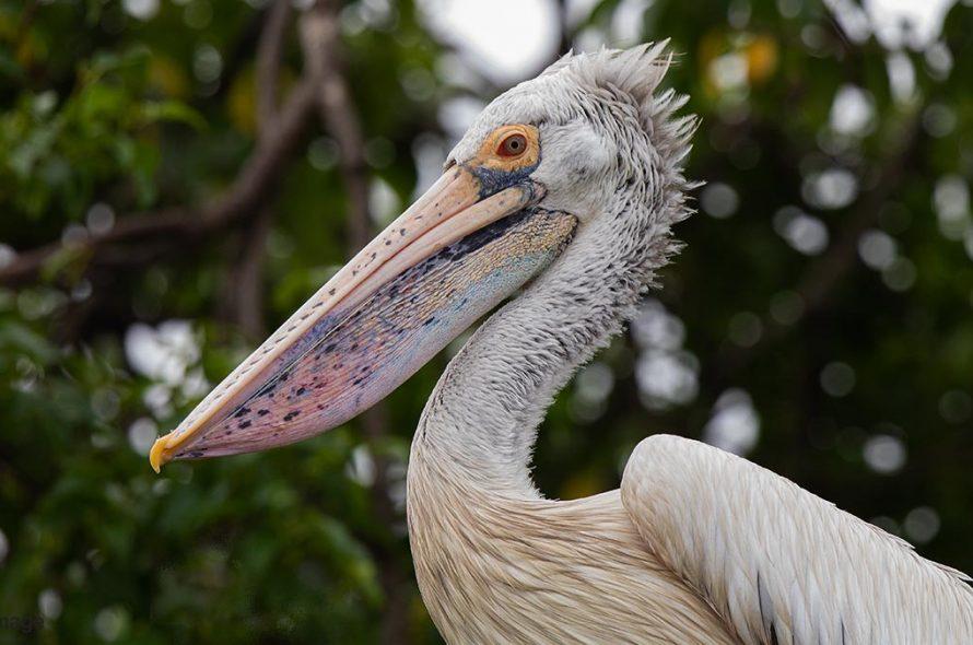 Grijze pelikaan – Spot-billed Pelican