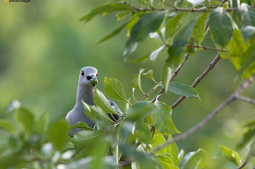 Groene muskaatduif – Green imperial pigeon