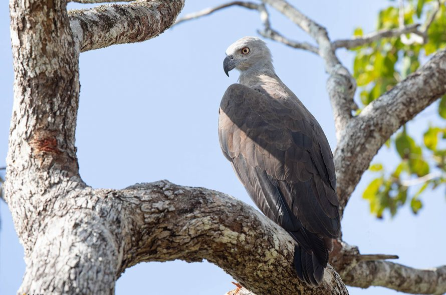 Grote rivierarend – Grey-headed Fish Eagle