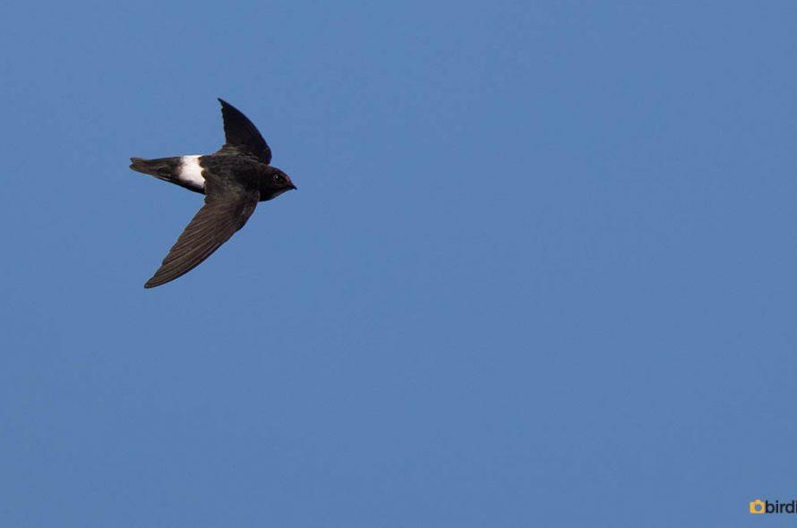 Huisgierzwaluw – Little swift