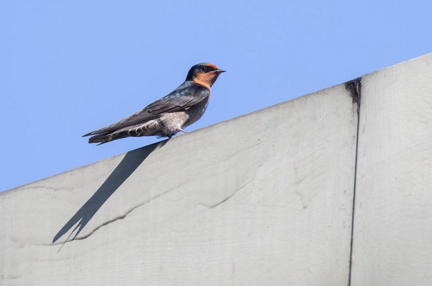 Hutzwaluw – Hill swallow