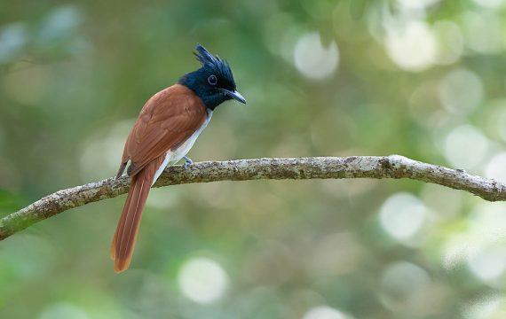 Indiase paradijsmonarch – Indian paradise flycatcher
