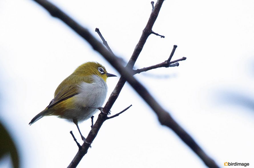 Indiase brilvogel – Oriental White-eye