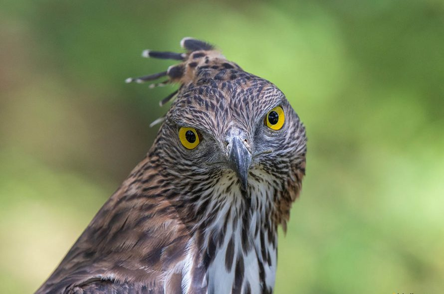 Indische slangenarend – Crested serpent eagle