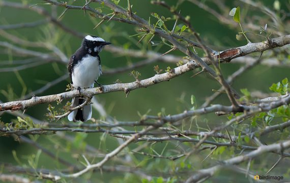 Indische waaierstaart – White-browed Fantail