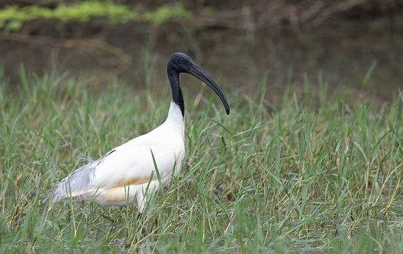 Indische witte ibis – Black-headed ibis
