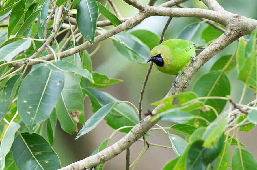 Jerdons bladvogel – Jerdon's leafbird