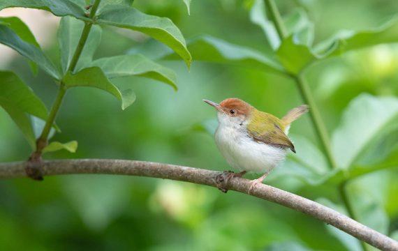 Langstaartsnijdervogel – Common Tailorbird