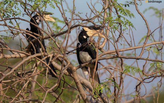 Malabarneushoornvogel – Malabar Pied Hornbill