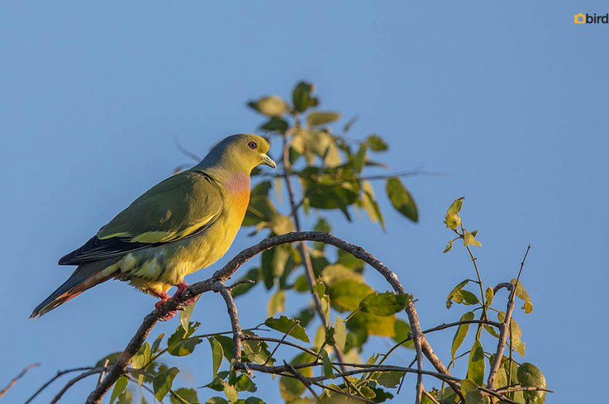 Oranjeborstpapegaaiduif – Orange-breasted Green Pigeon