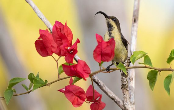 Purperstuithoningzuiger – Purple-rumped sunbird