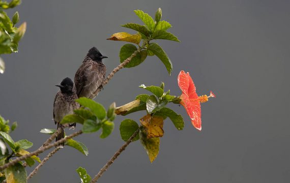 Roodbuikbuulbuul – Red-vented Bulbul