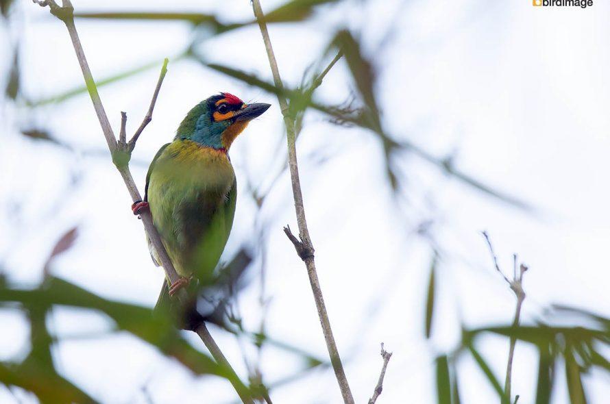 Roodkeelbaardvogel – Crimson-fronted Barbet