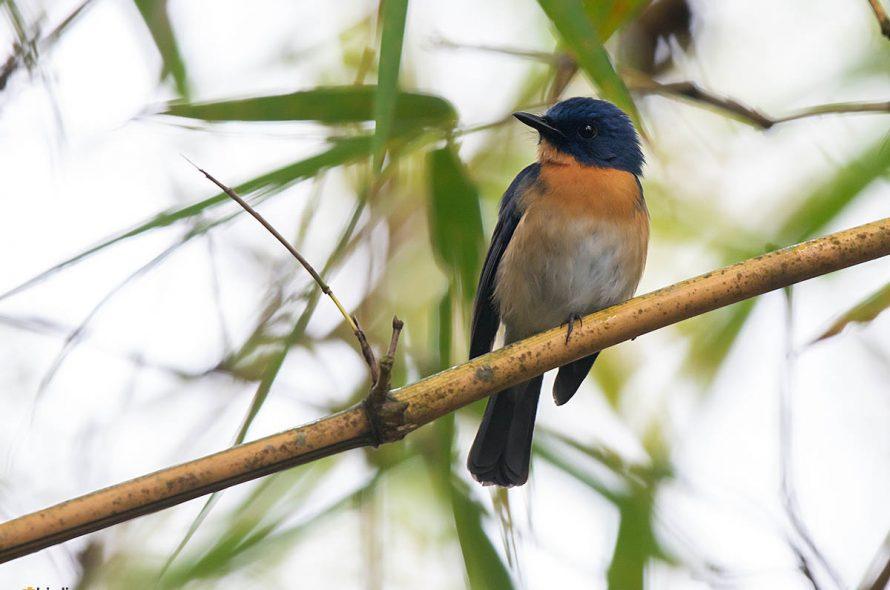 Tickells niltava – Tickell's Blue Flycatcher